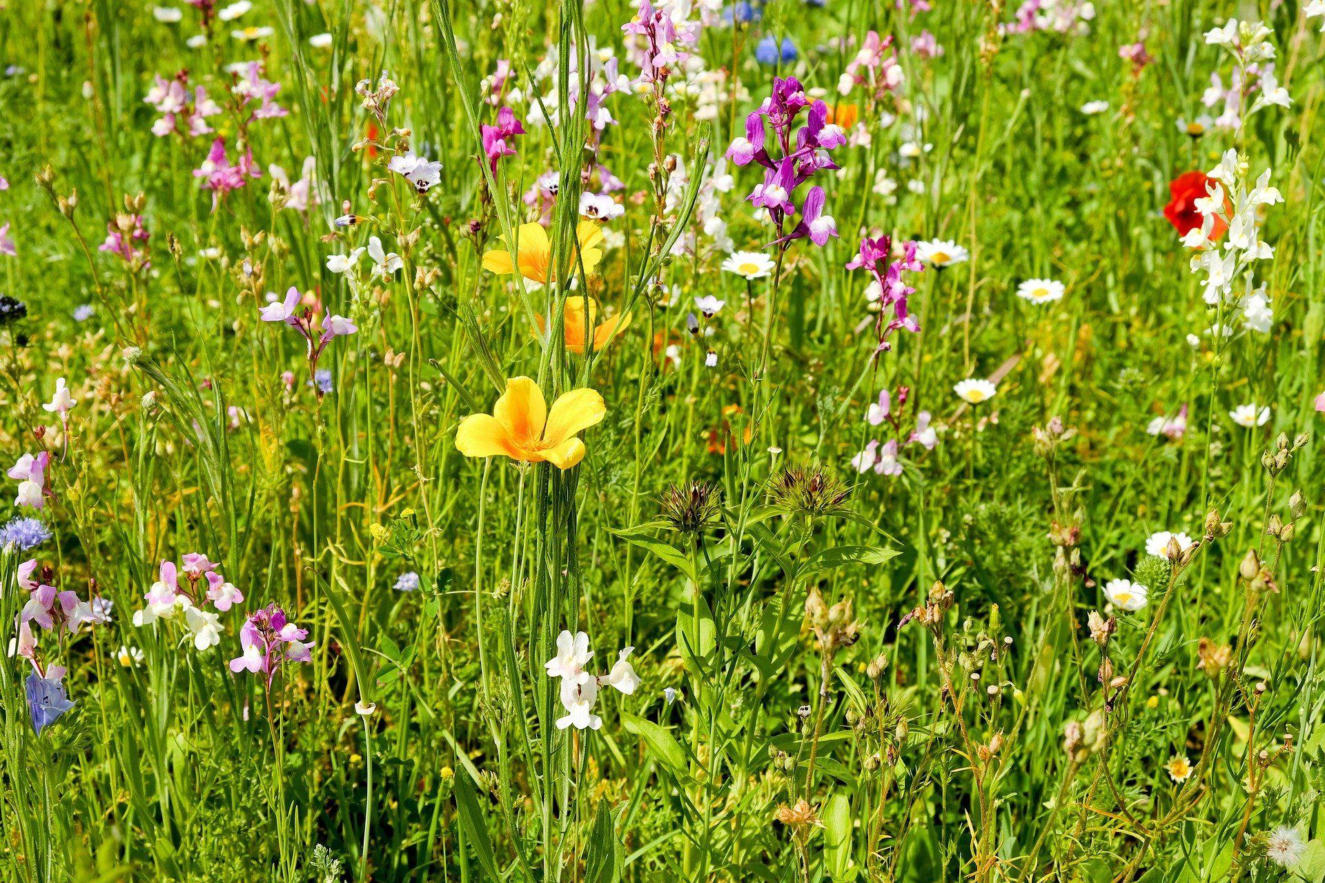Allergie Wiesenblumen