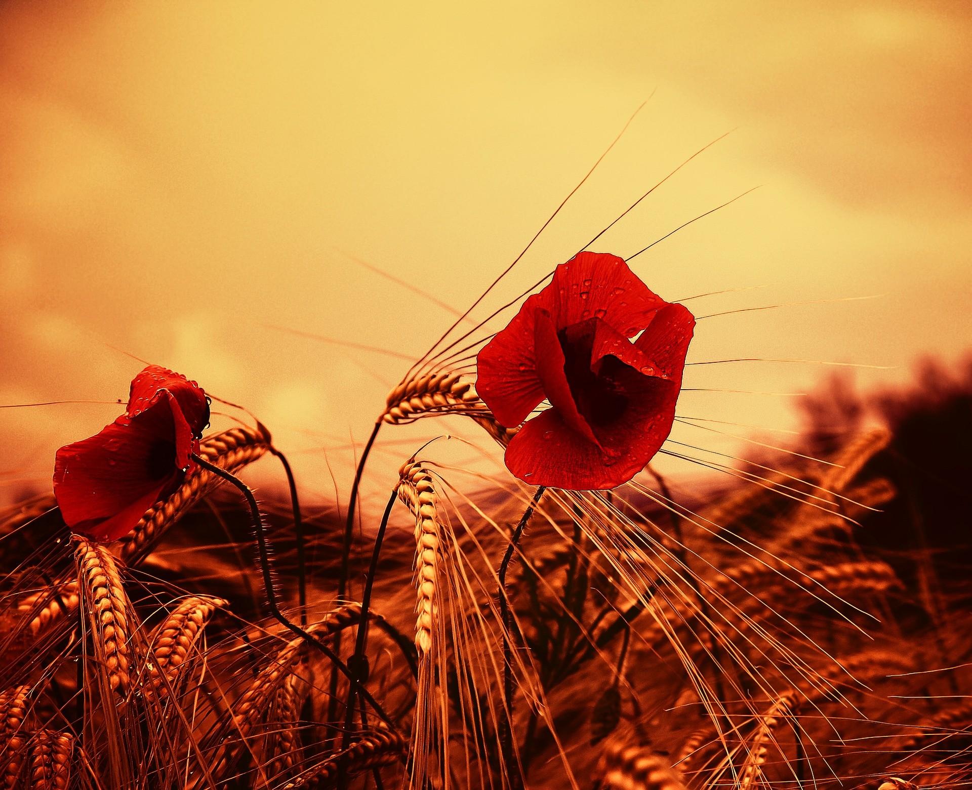 Weizenstauballergie